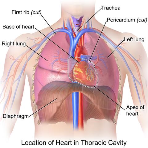 Herz im Thorax
