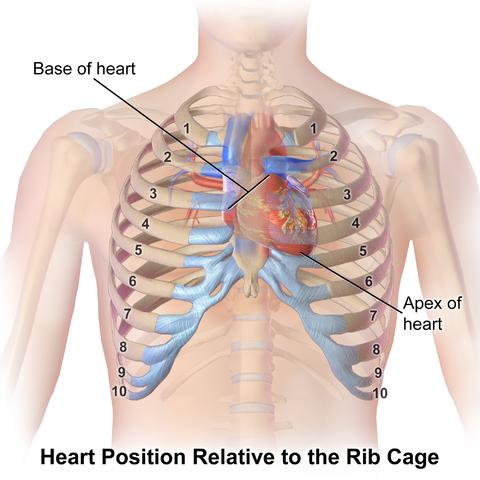 Herzposition im Verhältnis zu den Rippen
