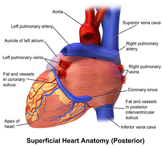 Hinterfläche des Herzens