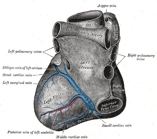 Unterfläche des Herzens
