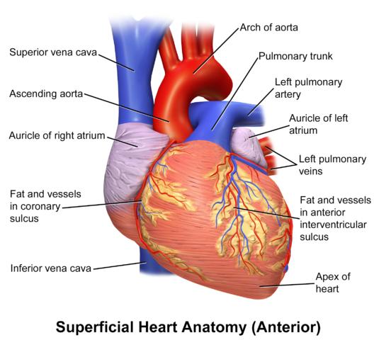 Vorderfläche des Herzens