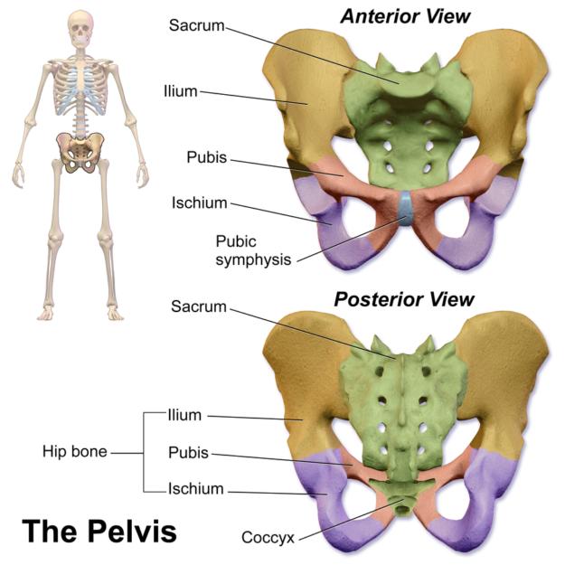 Symphysis pubica und Iliosacral-Gelenk – Anatomie der unteren Extremität