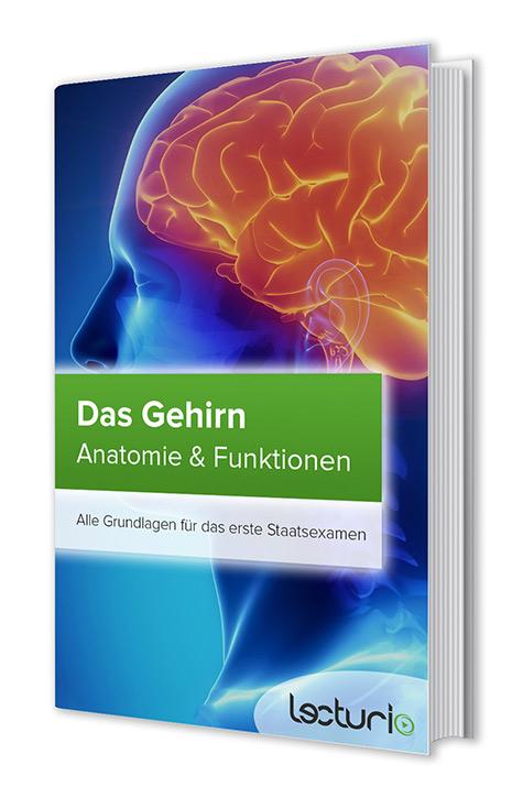 Gehirn: Anatomie & Funktionen – Kostenloses eBook | Lecturio