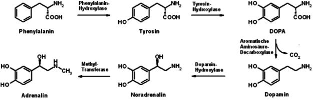 Biosynthese von Dopamin, Noradrenalin und Adrenalin aus Phenylalanin