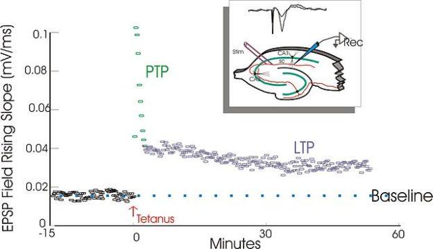 Synaptische Plastizität und neuronale Signalverarbeitung – Lecturio