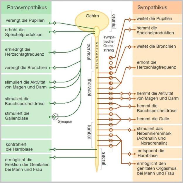Schematische Darstellung des vegetativen Nervensystems