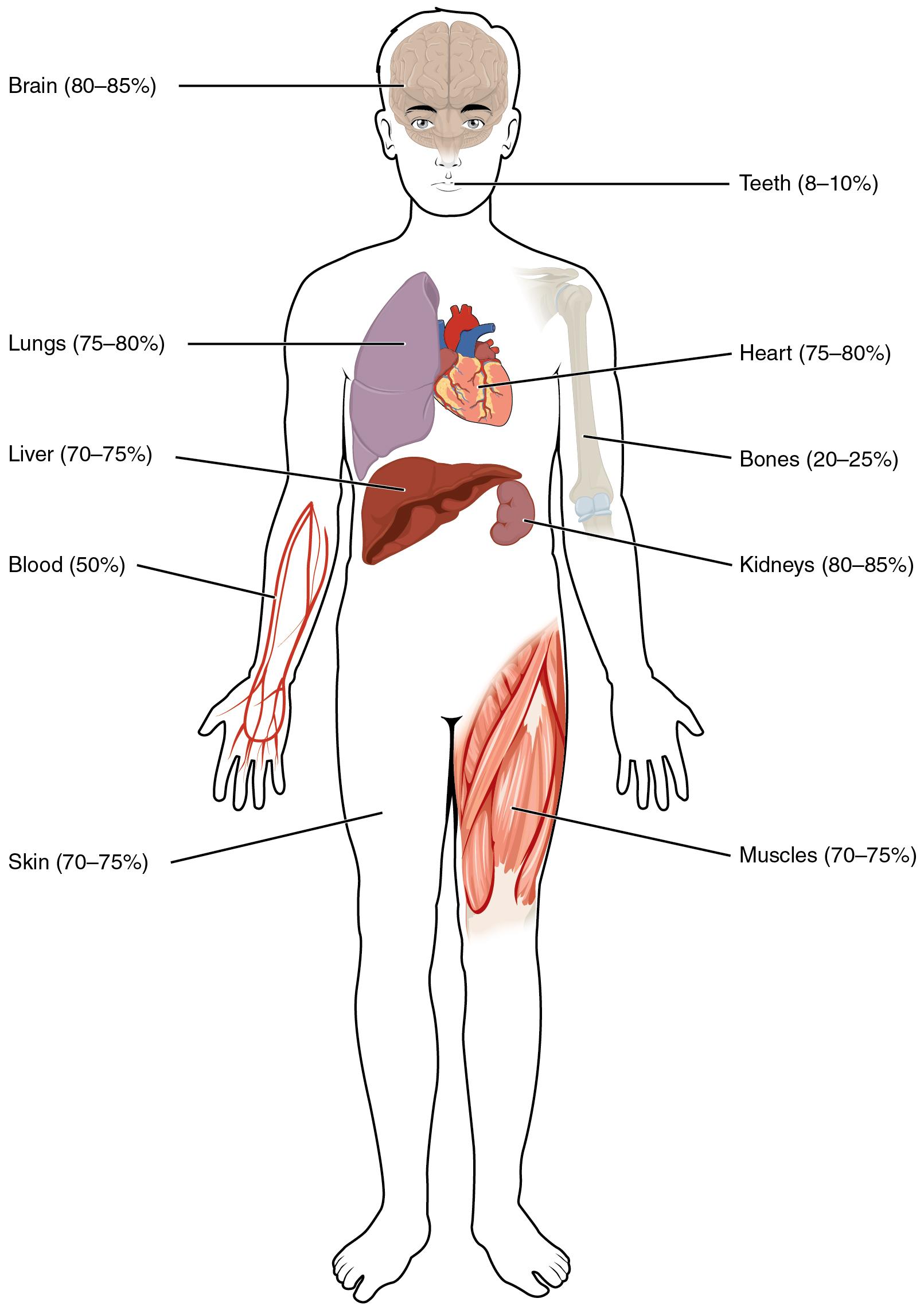 Der Wasser- und Natriumhaushalt im menschlichen Körper