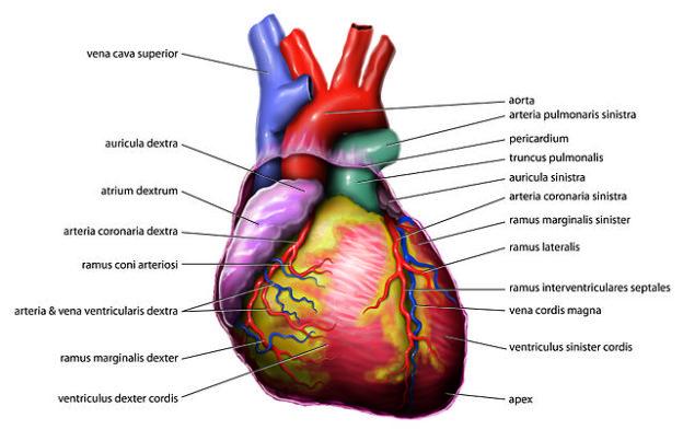 Beeinflussung der Herzfrequenz und VNS-Einfluss auf das Herz