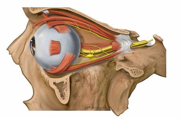 Kopf- und Hals-Anatomie: Auge und Ohr