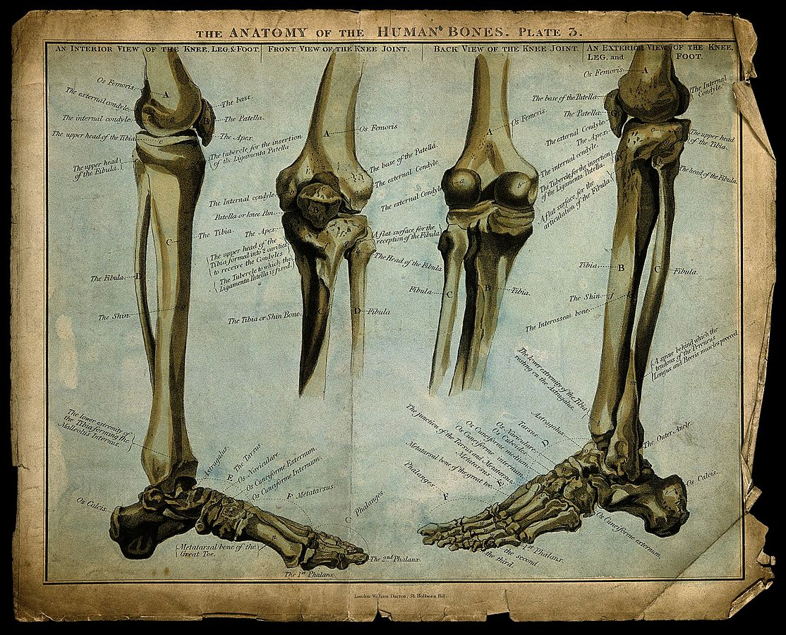 Bones of the Lower Extremity — Femur, Tibia, Fibula, Phalanges and More