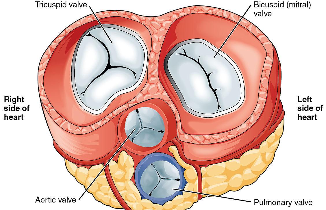 Bicuspid Aortic Valve Disease Symptoms And Treatment Lecturio