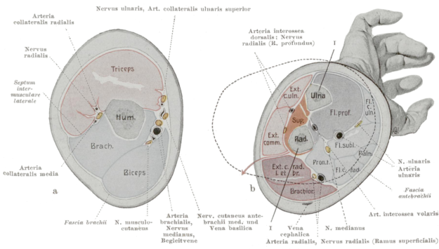 diagram showing the cross-section of the upper arm (left) and forearm (right)
