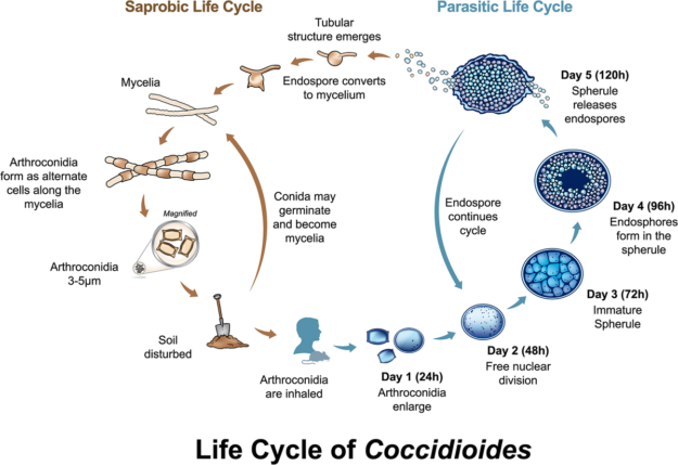 life cycle of coccidioides