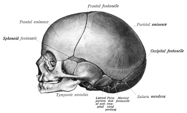 Head and Neck Embryology and Infant Skull Development | Lecturio