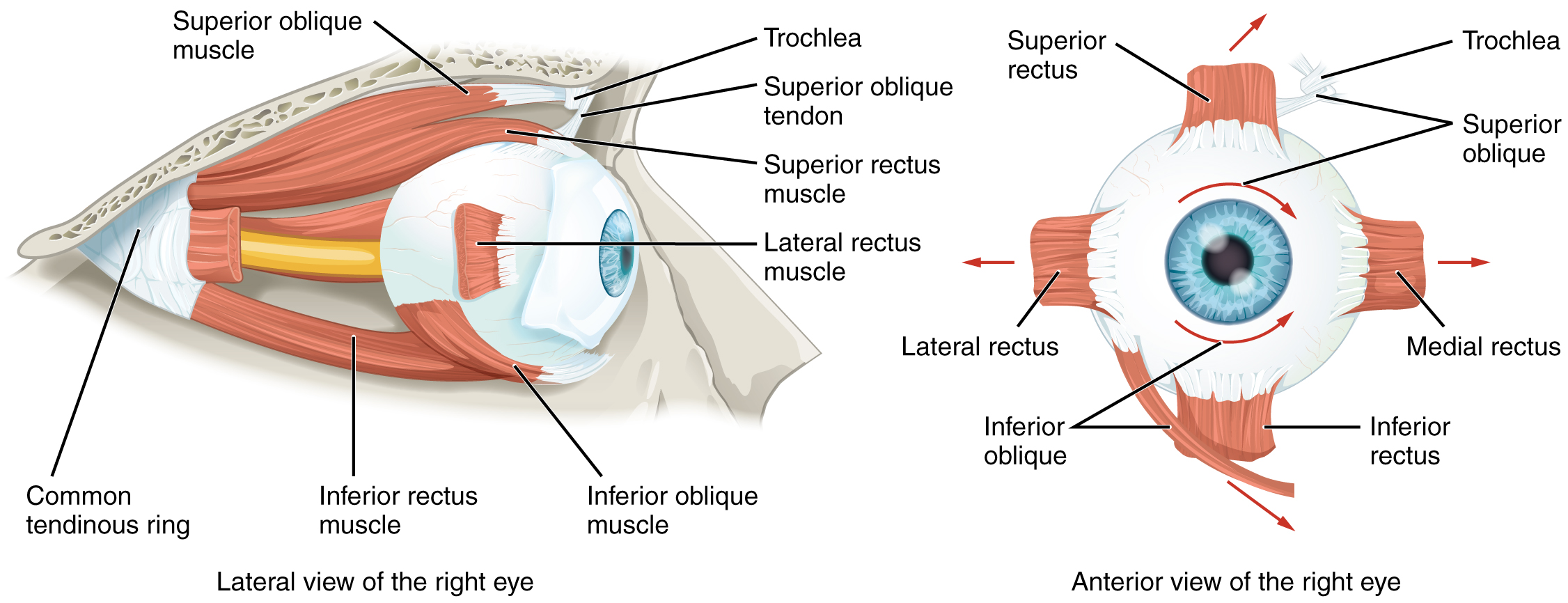 Extraocular Muscles Basic And Clinical Anatomy Lecturio
