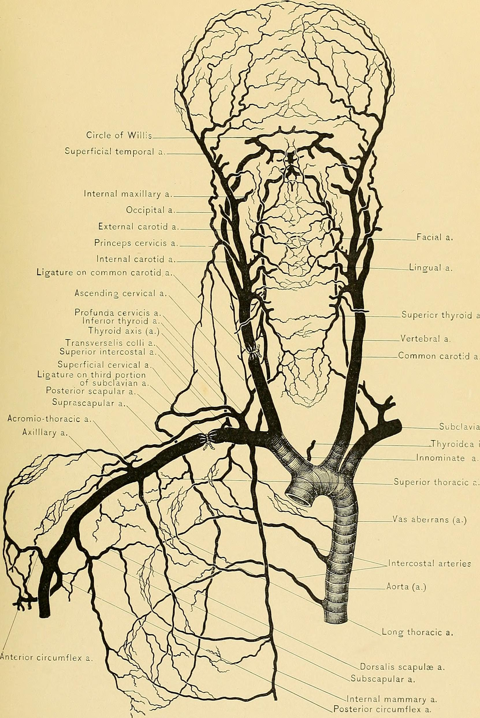 Arteries In The Neck The Carotid Arterial System Lecturio