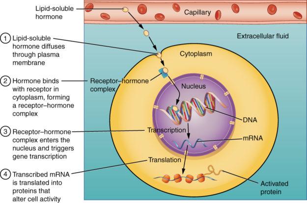 cytosolic receptor
