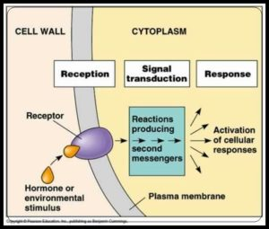 stages of cell signalling