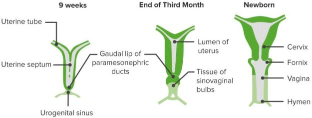 Mullerian-Duct-Embryological-Development