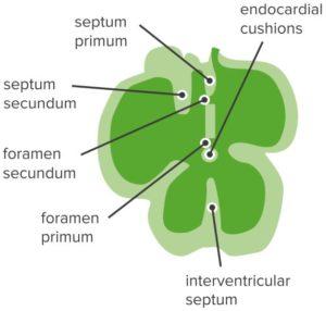 Terminology-Heart
