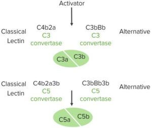 Complement-Activation