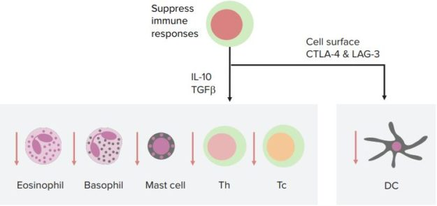 Regulatory-T-Cells