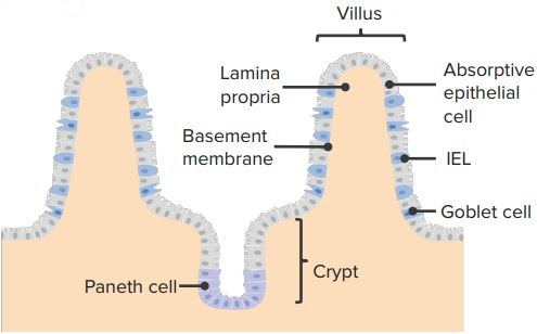 Intraepithelial-lymphocytes
