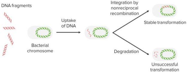 Bacterial-Transformation