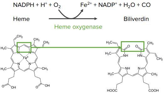 Heme-oxygenase