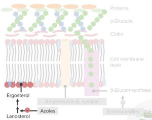 Fungal-cell-membrane-and-cell-wall.-Azoles-Antifungals