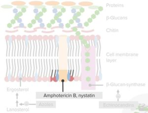 Fungal-cell-membrane-and-cell-wall.-Nystatin