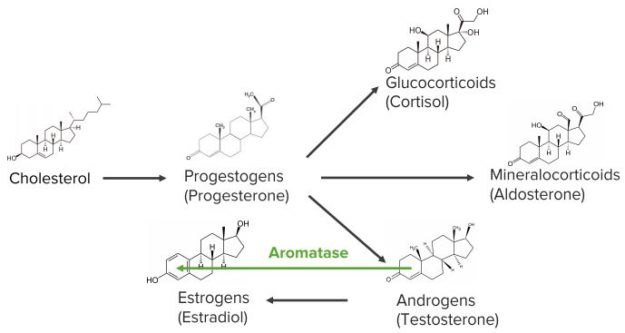 Steroid-Hormone-Metabolism