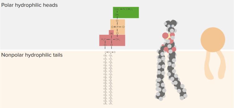 phospholipid-representations