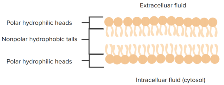 phospholipid-representations1