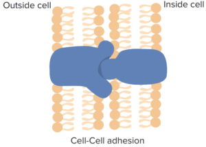 role-of-cell-membrane-proteins-cell-cell-adhesion1