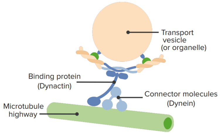 transport-within-a-cell