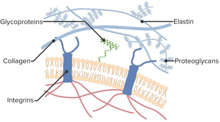 extracellular-matrix