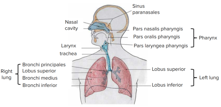 overview-respiratory-tract