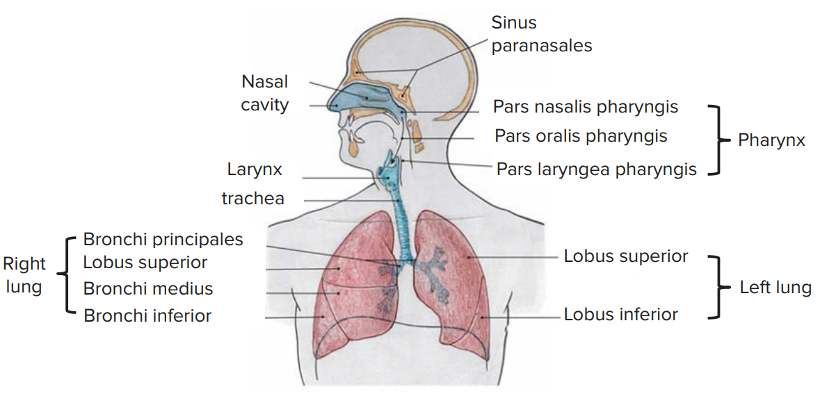 Lung – Anatomy of the Respiratory Organ | Online Medical Library