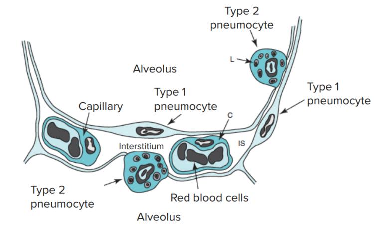 alveolar-capillary-barrier