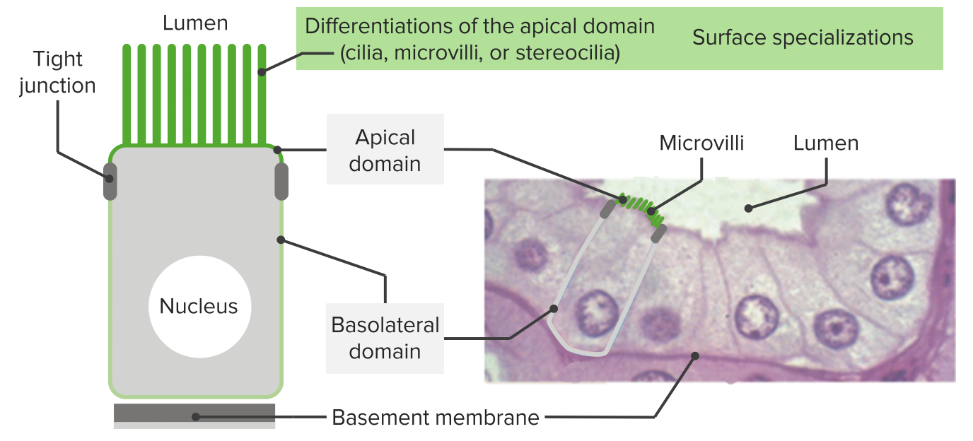 Epithelium — Functions and Types of Epithelial Tissue | Lecturio