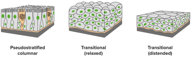 pseudostratisfied-transitional-classification-epithelium1