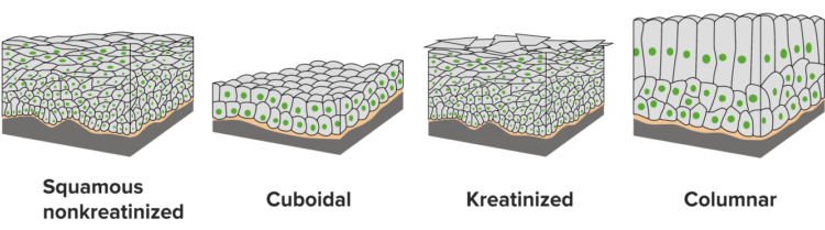 stratified-classification-epithelium1