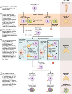 Differentiation of T Cells Within the Thymus