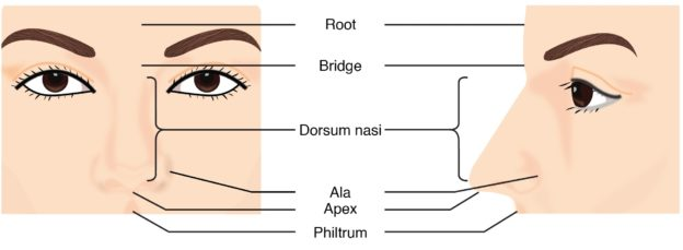 Nose: Anatomy and Histology of the Human Nose | Medical Library