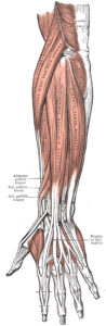 diagram showing the superficial muscles of the posterior compartment of the forearm