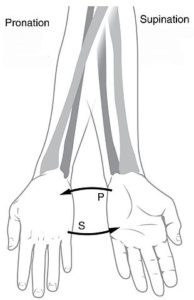 diagram showing pronation and supination of the forearm and hand