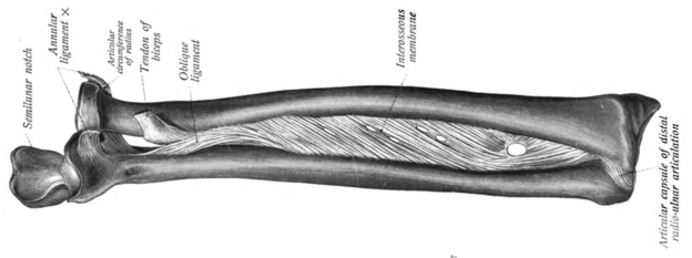 Diagram showing radius and ulna, the interosseous membrane between them as well as the paoximal and distal radioulnar joints