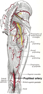 Popliteal-artery-lower-limb-anatomy