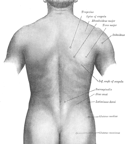 Surface anatomy of the back